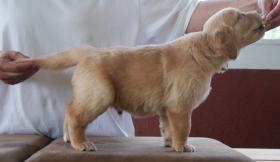 Foto 5 Traumfamilien für Golden-Retriever Welpen gesucht