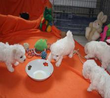 Foto 3 Traumhaft Schöne Bichon frise`Babys aus liebevolle Hobbyzucht