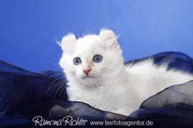 Traumhaft lustige American Curl Kitten!