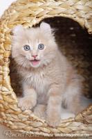 Foto 2 Traumhaft lustige American Curl Kitten!