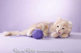 Foto 4 Traumhaft lustige American Curl Kitten!