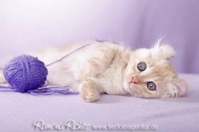 Foto 5 Traumhaft lustige American Curl Kitten!