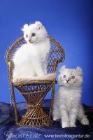 Foto 6 Traumhaft lustige American Curl Kitten!