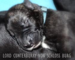 Foto 2 Traumhaft schöne Irish-Wolfhoundwelpen m. Pap. abzugeben