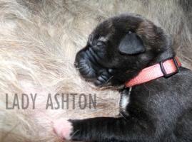 Foto 3 Traumhaft schöne Irish-Wolfhoundwelpen m. Pap. abzugeben