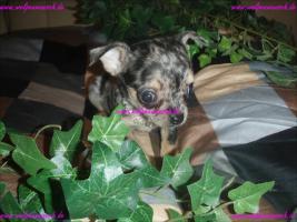 Traumhaft schöne Lang und Kurzhaar Chihuahua Welpen