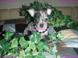 Foto 2 Traumhaft schöne Lang und Kurzhaar Chihuahua Welpen
