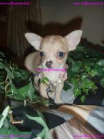 Foto 3 Traumhaft schöne Lang und Kurzhaar Chihuahua Welpen