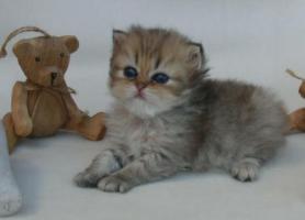 Foto 2 Traumhaft schöne Perserkätzchen!