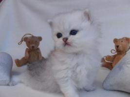 Foto 3 Traumhaft schöne Perserkätzchen!