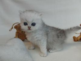 Foto 4 Traumhaft schöne Perserkätzchen!