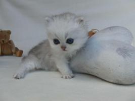 Foto 5 Traumhaft schöne Perserkätzchen!
