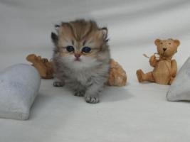 Foto 6 Traumhaft schöne Perserkätzchen!