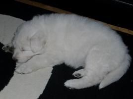 Foto 2 Traumhaft schöne Reinrassige Weisse Schäferhündin von 8 wochen