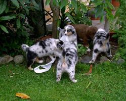 Foto 4 Traumhafte Australian Shepherd Welpen mit-Pap