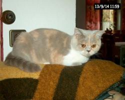 Traumhafte BKH Katze mit stammbaum