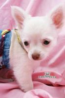 Traumhafte Chihuahua Welpen ! Noch 1 unglaublich süßes Mädchen!!