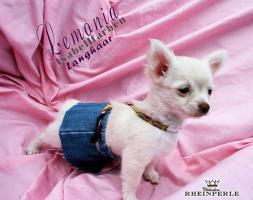 Foto 2 Traumhafte Chihuahua Welpen ! Noch 1 unglaublich süßes Mädchen!!