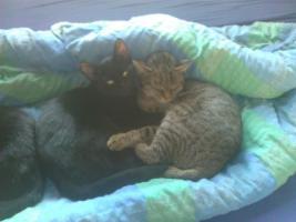 Foto 4 Traumhafte Katze wegen Platzmangel zu verschenken!