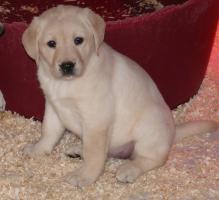 Traumhafte Labrador Welpen ab Sofort...