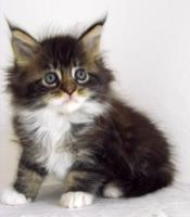 Foto 5 Traumhafte Maine Coon Kitten !!