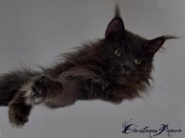 Foto 6 Traumhafte Maine Coon Kitten !!