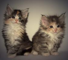 Traumhafte Maine Coon Kitten der Extra Klasse!!