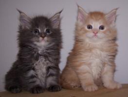 Foto 2 Traumhafte Maine Coon Kitten der Extra Klasse!!