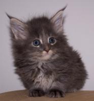 Foto 3 Traumhafte Maine Coon Kitten der Extra Klasse!!
