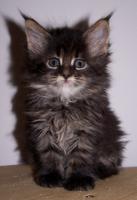 Foto 5 Traumhafte Maine Coon Kitten der Extra Klasse!!