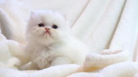 Traumhafte Perserbabys, Perserkatzen in weiß u. Colorpoint