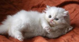 Foto 5 Traumhafte Perserbabys, Perserkatzen in weiß u. Colorpoint