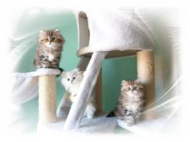 Traumhaftschöne   Perserbabys