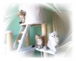 Foto 2 Traumhaftschöne   Perserbabys