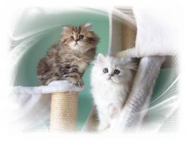 Foto 3 Traumhaftschöne   Perserbabys