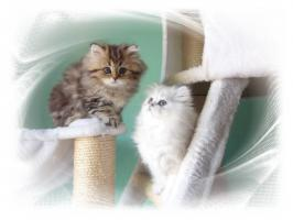 Foto 4 Traumhaftschöne   Perserbabys