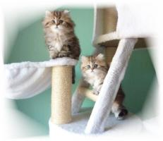 Foto 6 Traumhaftschöne   Perserbabys