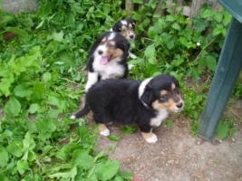 Tricolor Colliewelpen