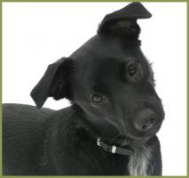 Trix, weiblich, 10 Monate, 40 cm, 8 kg, Pinscher-Mix, kastriert und gechipt