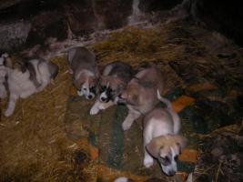 Foto 3 Tschechische Wolfshundwelpen-Mix