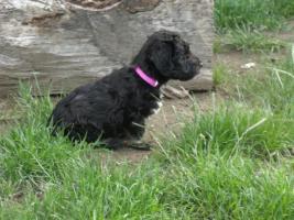 Foto 2 Tschechischer Terrier - Welpe - Hündin