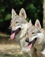 Foto 2 Tschechoslowakische Wolfshund