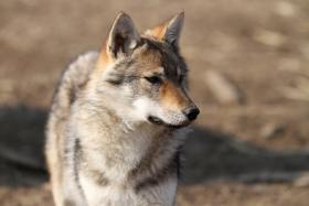 Foto 3 Tschechoslowakische Wolfshund