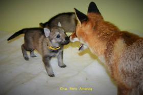 Foto 2 Tschechoslowakische Wolfshund mit PP