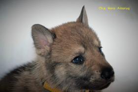 Foto 3 Tschechoslowakische Wolfshund mit PP