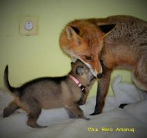 Foto 6 Tschechoslowakische Wolfshund mit PP