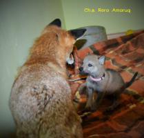 Foto 7 Tschechoslowakische Wolfshund mit PP