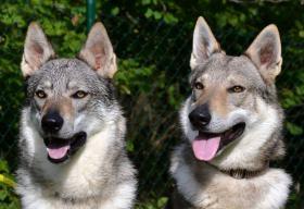 Foto 8 Tschechoslowakische Wolfshund mit PP