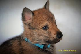 Foto 10 Tschechoslowakische Wolfshund mit PP