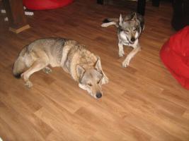Foto 3 Tschechoslowakische Wolfshund Welpen